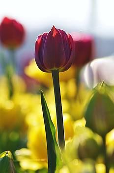 Tulips 2 by Jennifer Englehardt
