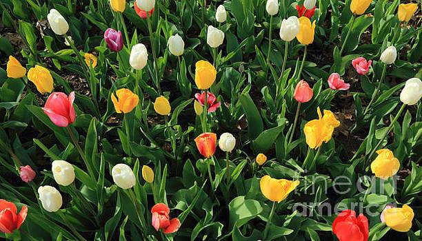 Tulips 2015 by Dan Hilsenrath