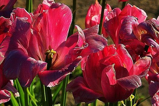 Tulips 5 by Steve Warnstaff