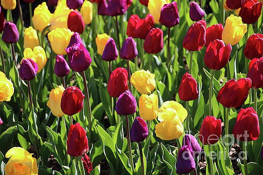Gary Gingrich Galleries - Tulips-5647