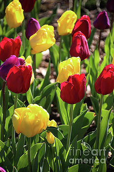 Gary Gingrich Galleries - Tulips-5655