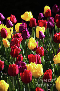 Gary Gingrich Galleries - Tulips-5703