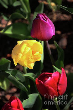 Gary Gingrich Galleries - Tulips-5727