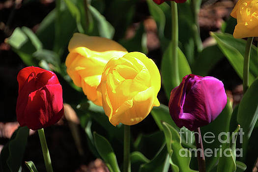 Gary Gingrich Galleries - Tulips-5738