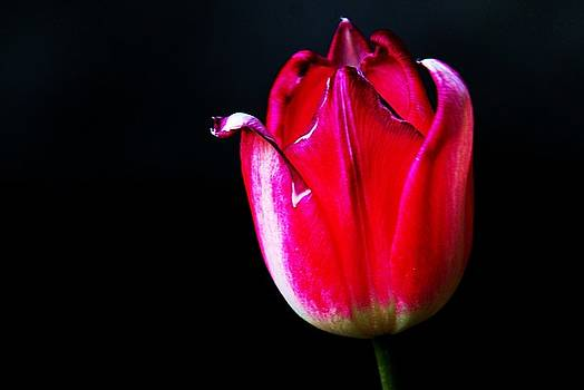 Tulips 7 by Lisa M Smith