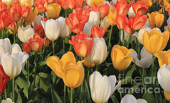 Tulips Ablaze With Color by Dora Sofia Caputo Photographic Art and Design