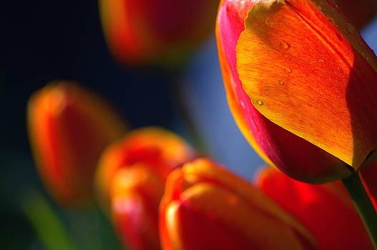 Tulips by Allan Erickson
