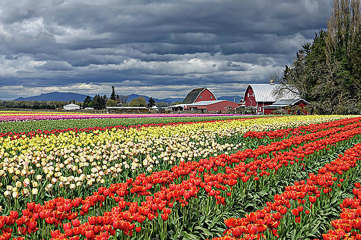 Tulips and Barn by Rick Lawler