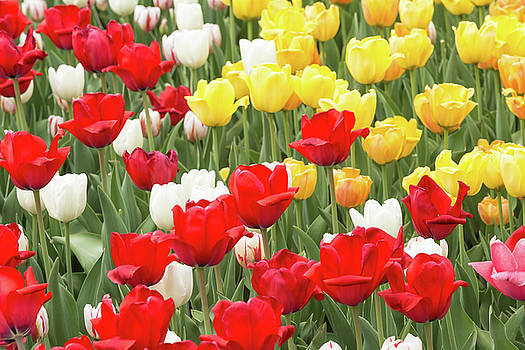 Tulips and colourful flowers in spring by Josef Pittner