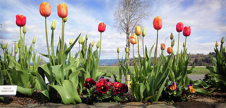 Tulips at Mossy Rock, WA by Edward Coumou