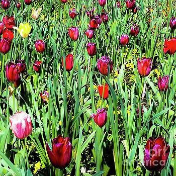 Tulips Blooming by D Davila