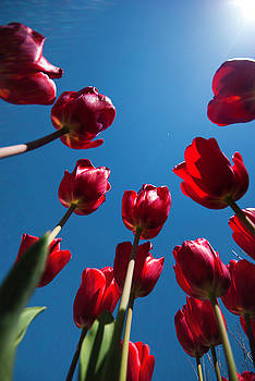 Tulips by Claire Wilson