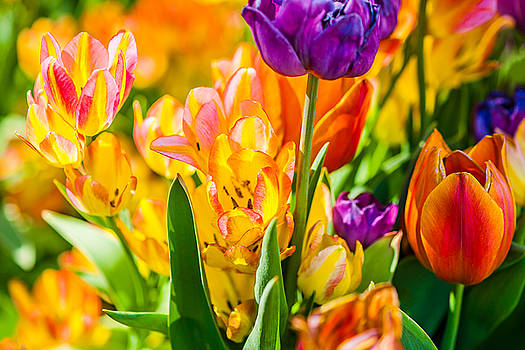 Tulips Enchanting 01 by Alexander Senin