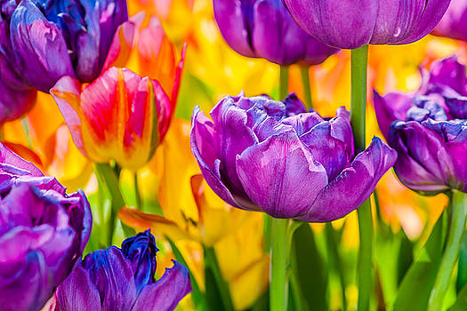 Tulips Enchanting 04 by Alexander Senin