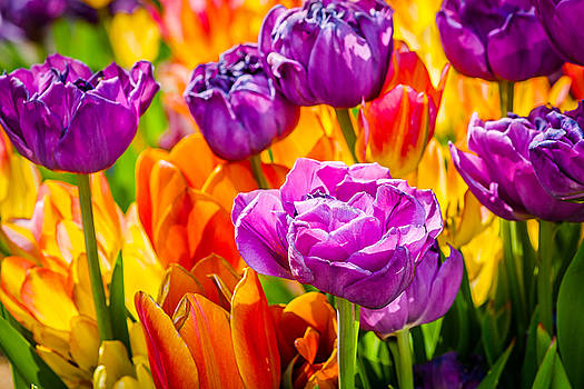 Tulips Enchanting 07 by Alexander Senin