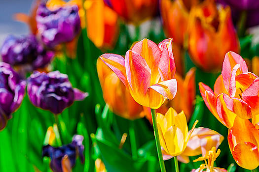 Tulips Enchanting 11 by Alexander Senin