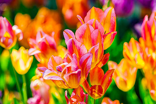 Tulips Enchanting 13 by Alexander Senin