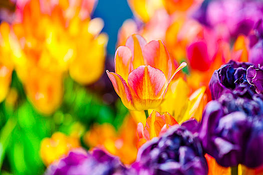Tulips Enchanting 17 by Alexander Senin