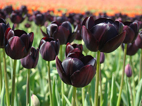 Baslee Troutman - Tulips Field Deep Purple Tulip Flowers Baslee