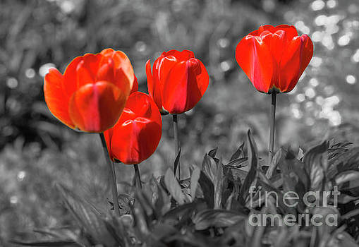 Tulips Galore by Geoff Smith