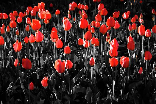 Tulips by Hristo Hristov