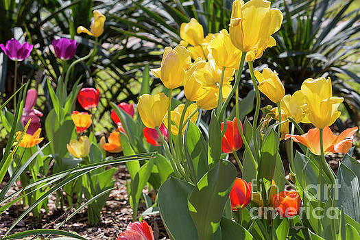Tulips in a garden in spring by Louise Heusinkveld
