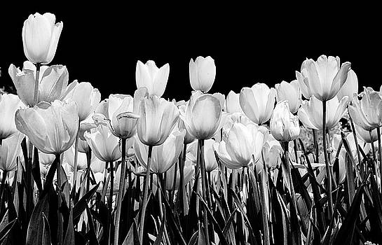 tulips in Black and white by John Babis