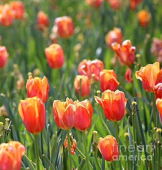 Tulips in Tangerine by Frances Marian Lewis