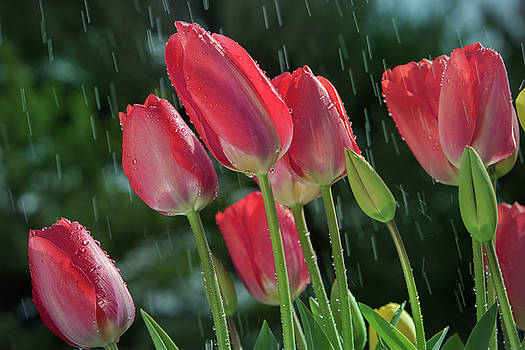 Tulips in the rain by William Lee