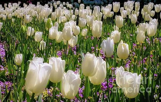 Tulips in White by D Davila