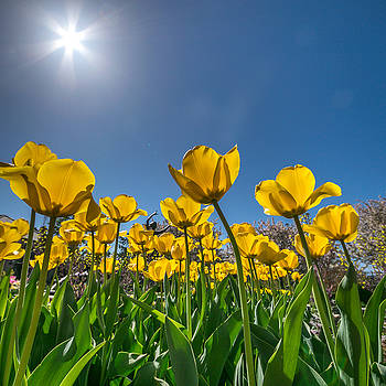 Tulips in Yellow by Lisa Plymell