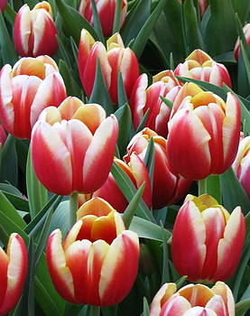 Tulips by Kellie  Dean