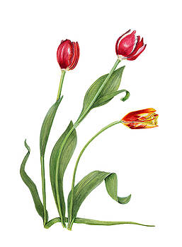 Tulips by Linda Wolfe