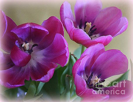 Tulips Lovely in Magenta by Dora Sofia Caputo Photographic Design and Fine Art