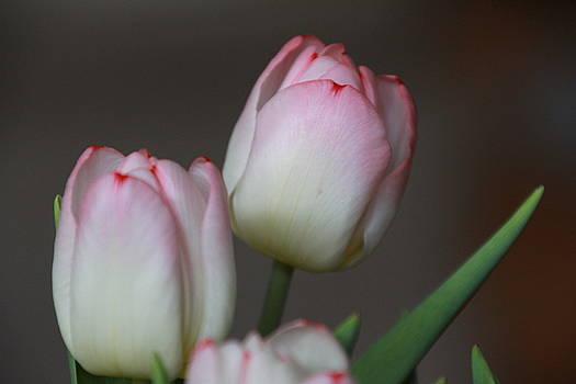 Tulips by Martha Boyle