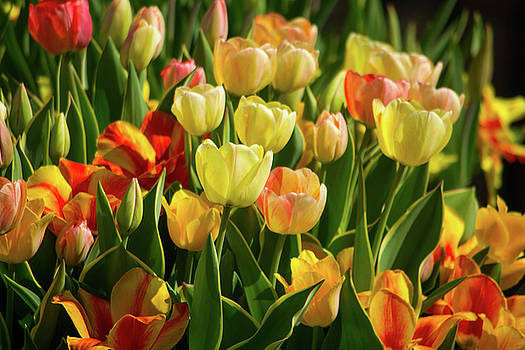 Mike Shaw - Tulips