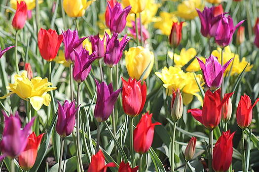 Tulips by Monica Whaley