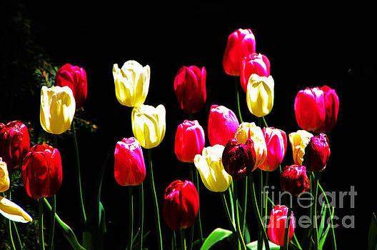 Tulips, multicolored, 3 by David Frederick