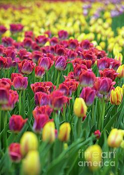 Tulips.. by Nina Stavlund