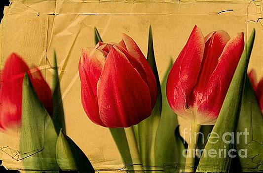 Tulips on Parchment by Clare Bevan