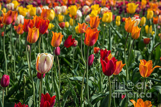Tulips by Patrick Shupert