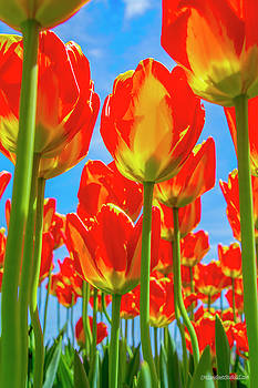 Tulips Reach for the Sky by LeeAnn McLaneGoetz McLaneGoetzStudioLLCcom
