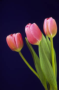 Tulips by Richard Hayman