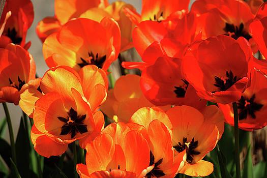 Tulips by Rowana Ray