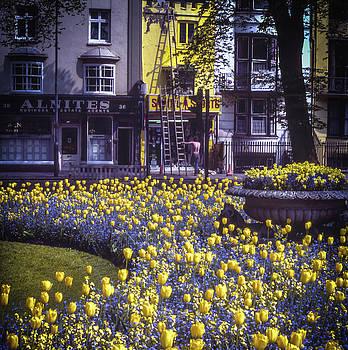 Tulips by Samuel M Purvis III