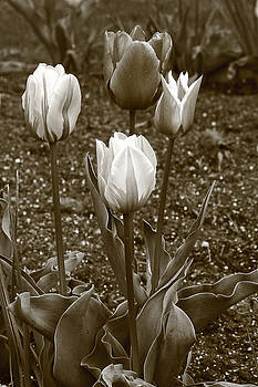 James Steele - Tulips  Sepia print