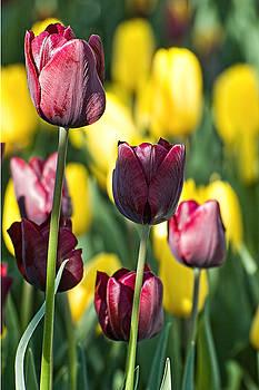 Edward Sobuta - Tulips Series 15