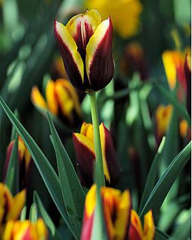 Edward Sobuta - Tulips Series 16