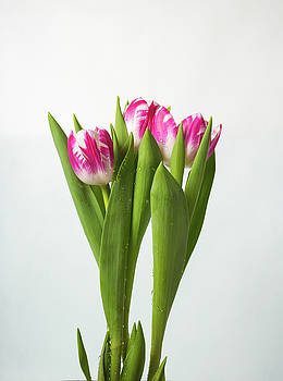 Tulips With Water Drops by Yana Reint