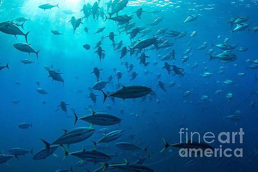 Tuna Dreams II by Adrian E Gray